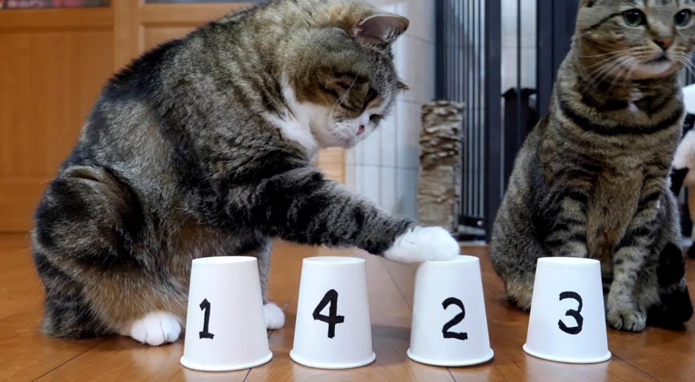 Maru And Hana Play The Shuffle Game