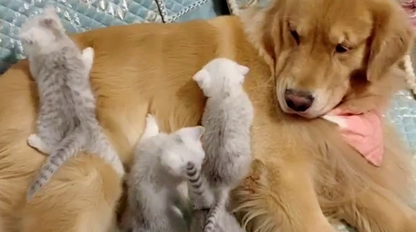 Golden Retreiver And His Tiny Friends