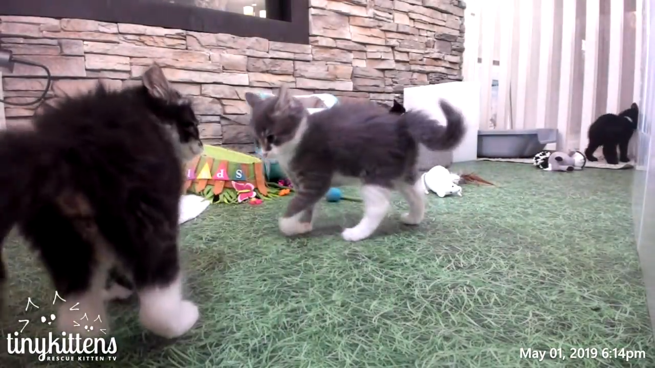 The epic battle of two fierce kittens