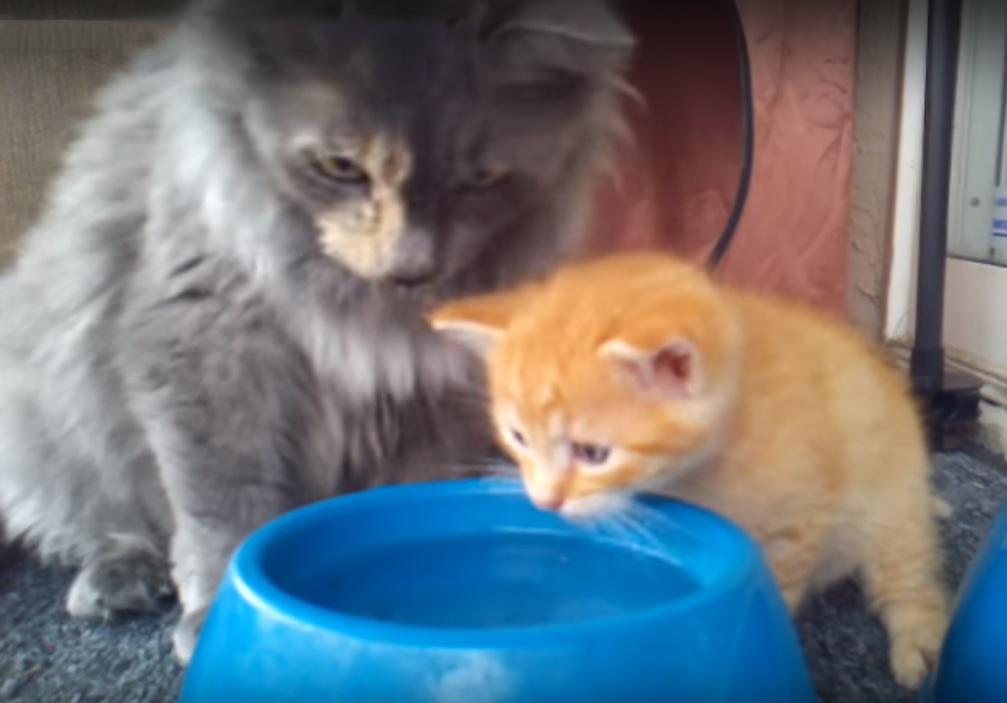 Cute kitten learning how to drink water