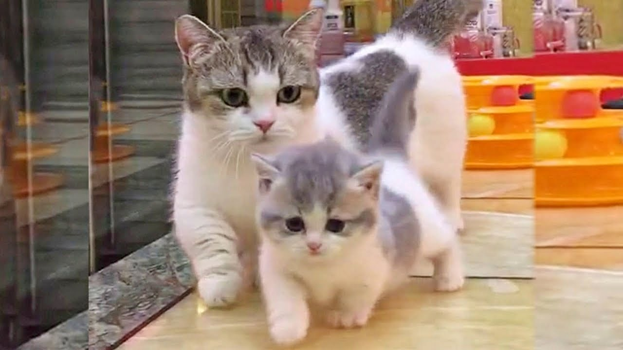 Munchkin Kitten And Mama Cat