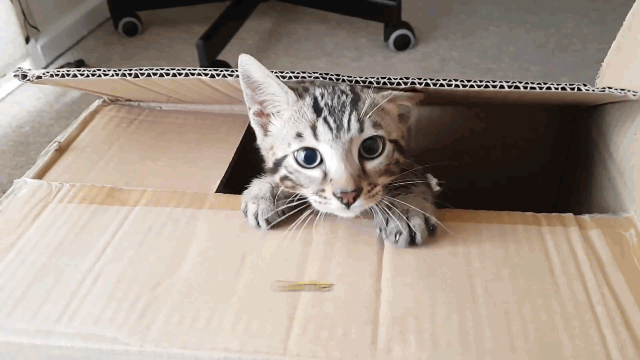 Meet Gunther, the playful bengal kitten