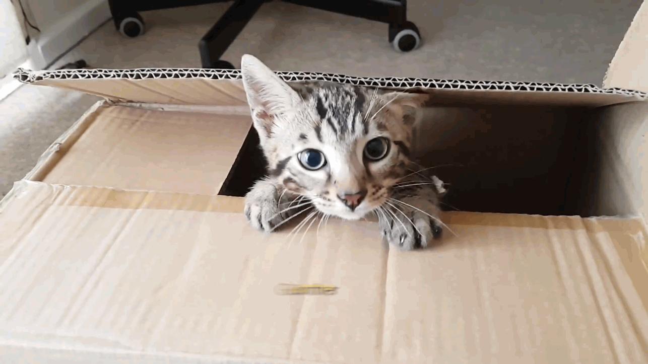 Meet Gunther, the playful bengal kitten