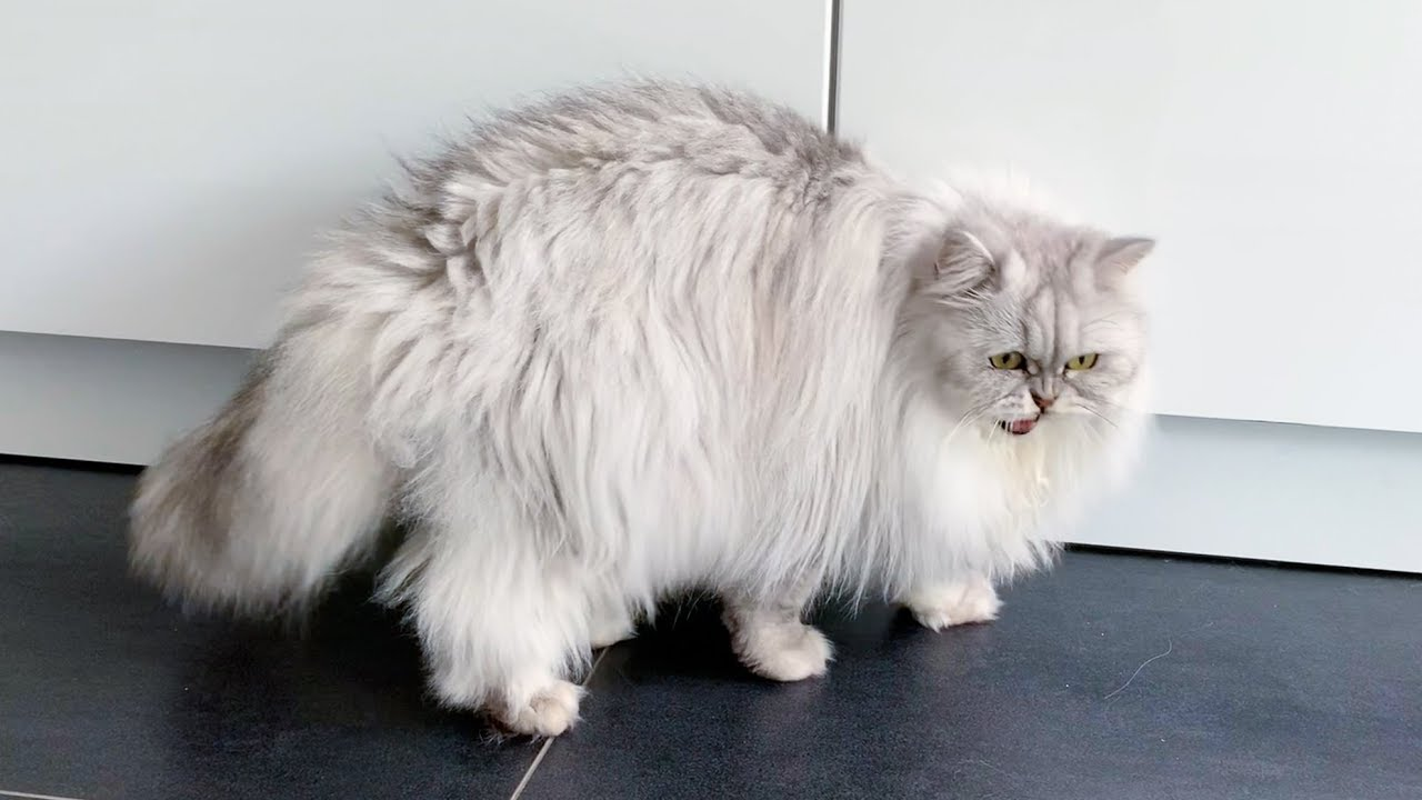 Chattering Fluffy Cat