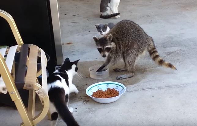 Funny Raccoon Steals Cat's Food