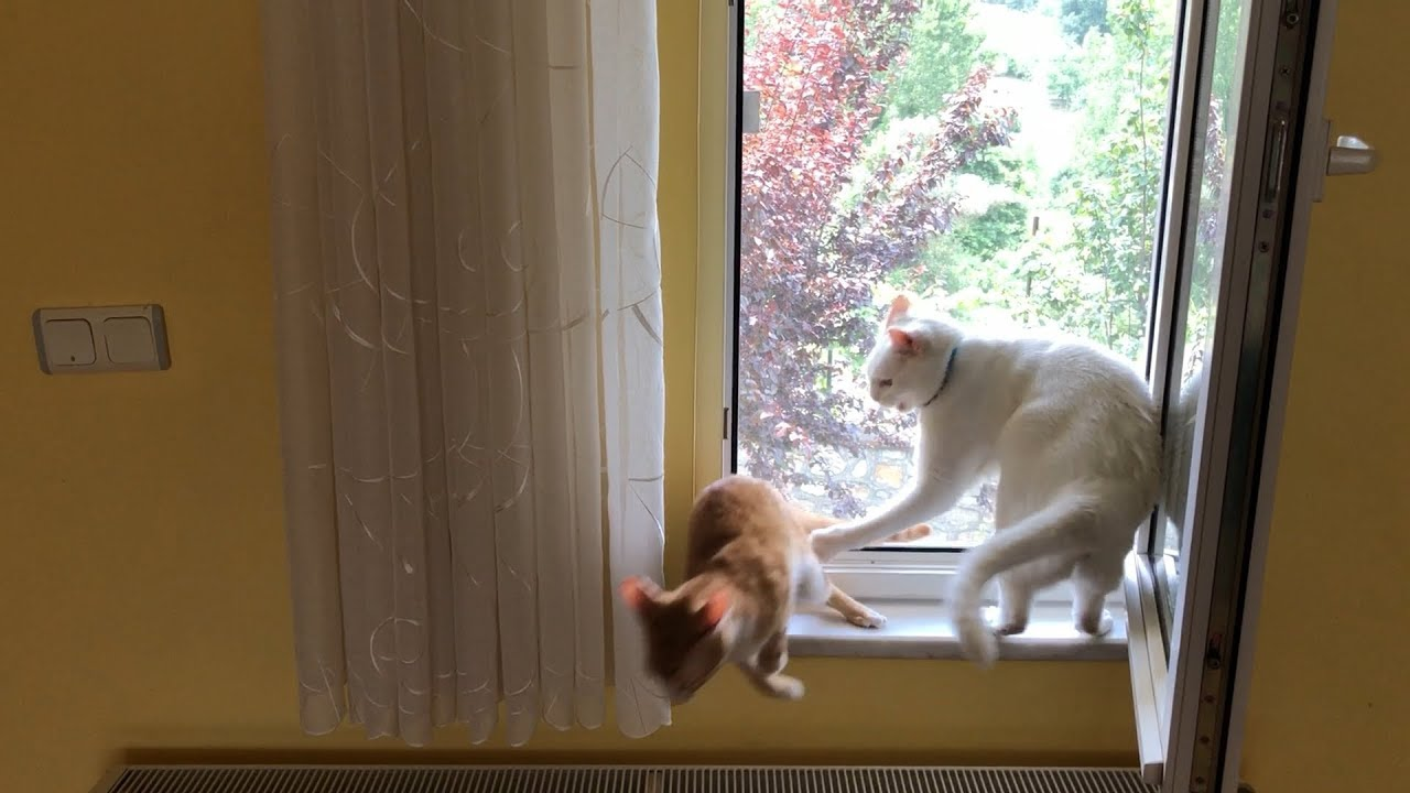 Cats fight over the best spot at the window
