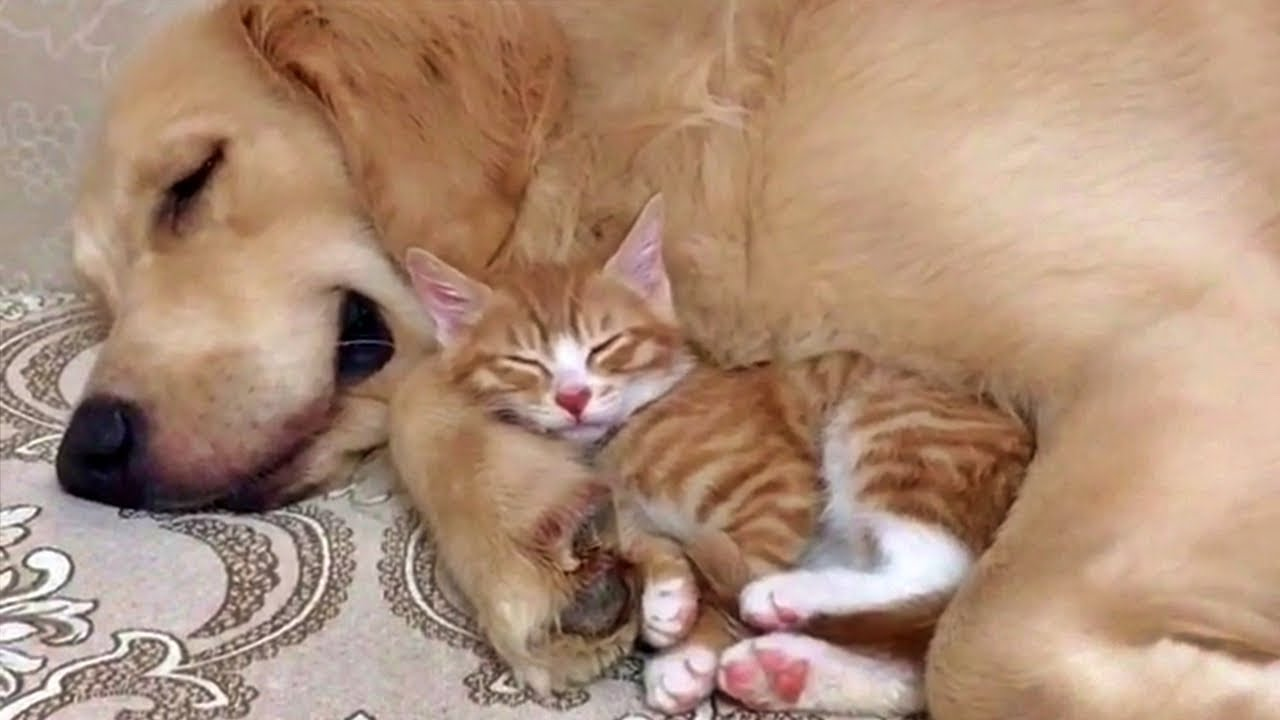 Gentle Golden Retreiver And Kitten