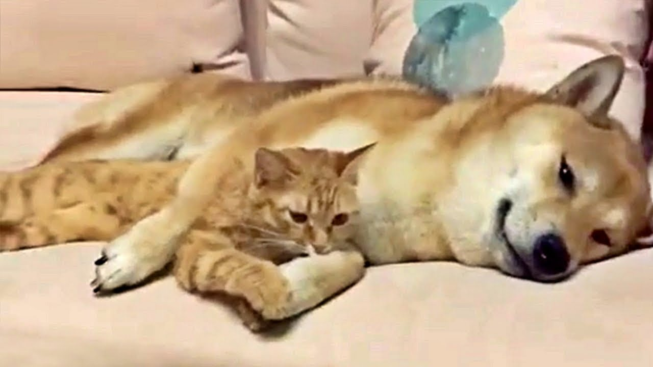 Shiba Inu And Ginger Kitty Friendship