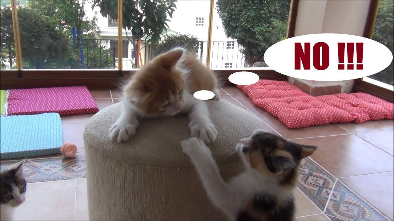 Kitten fighting to defend his top spot