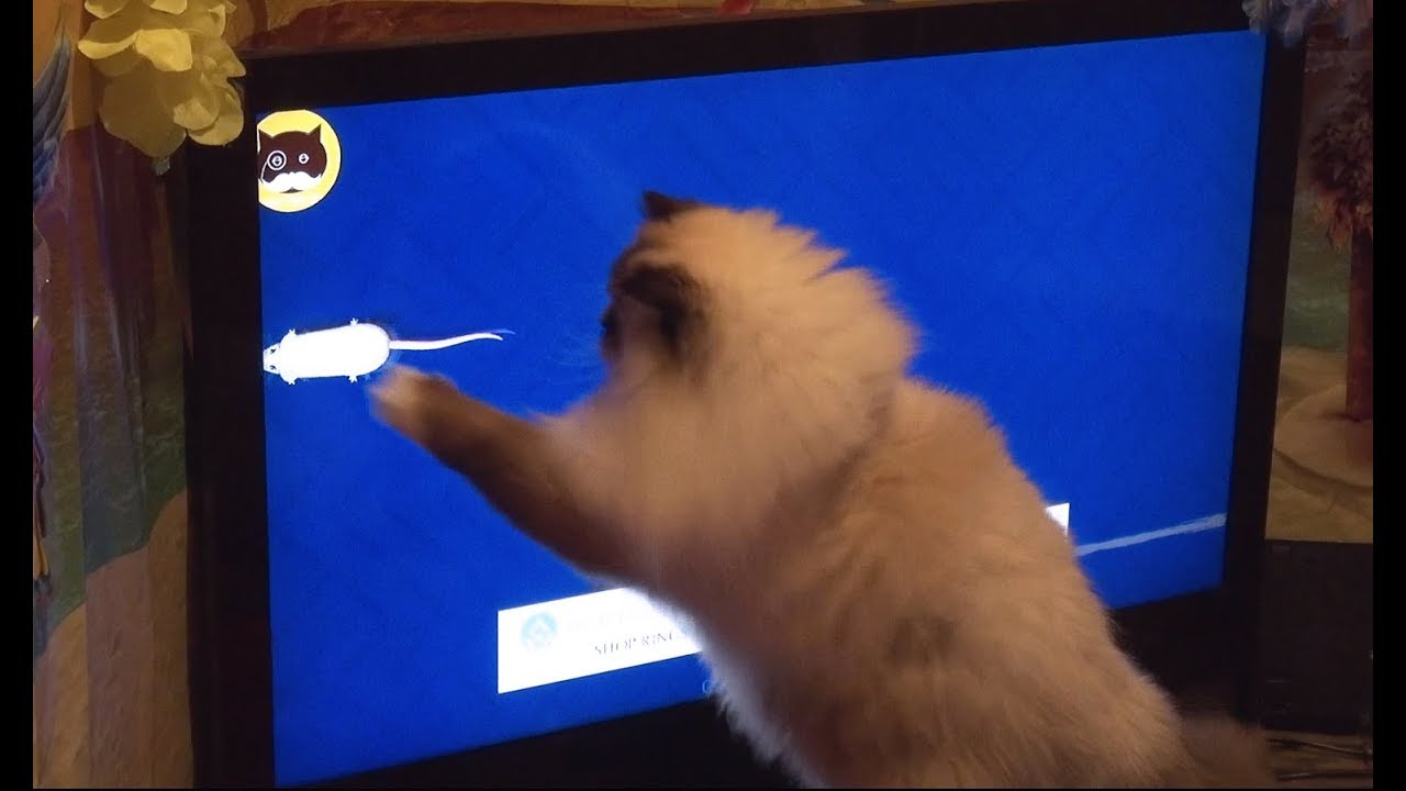 Fluffy cat having a lot of fun while playing on the TV