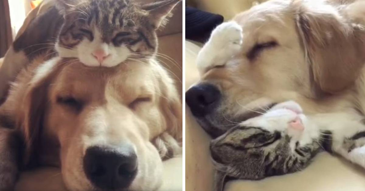 Golden Retreiver And Rescue Cat Best Friends