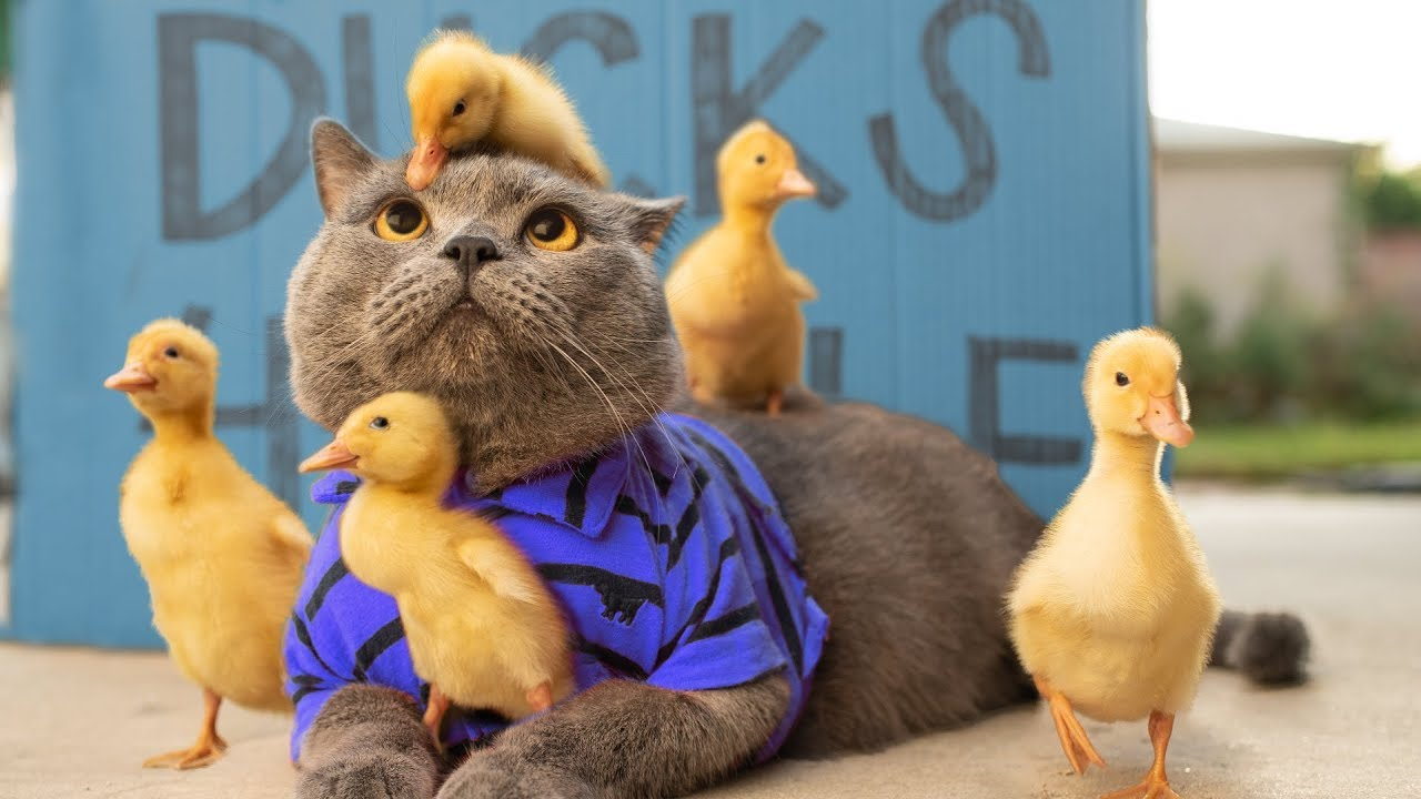 Cat Raises Ducklings (Aaron's Animals)