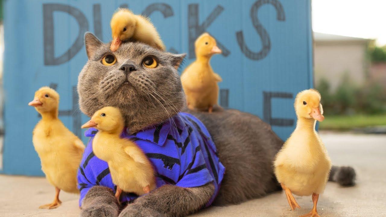 Cat Raises Ducklings (Aaron's Animals)