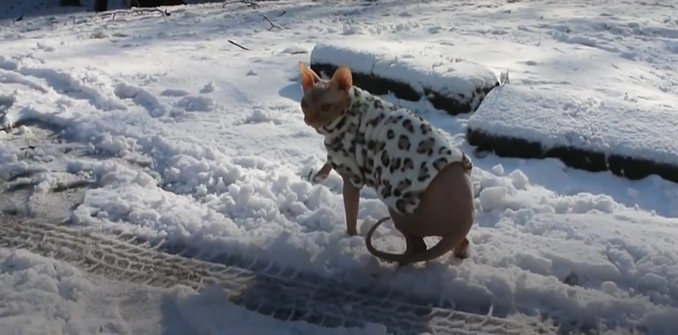 Hairless Kitty Insists To Go Outside