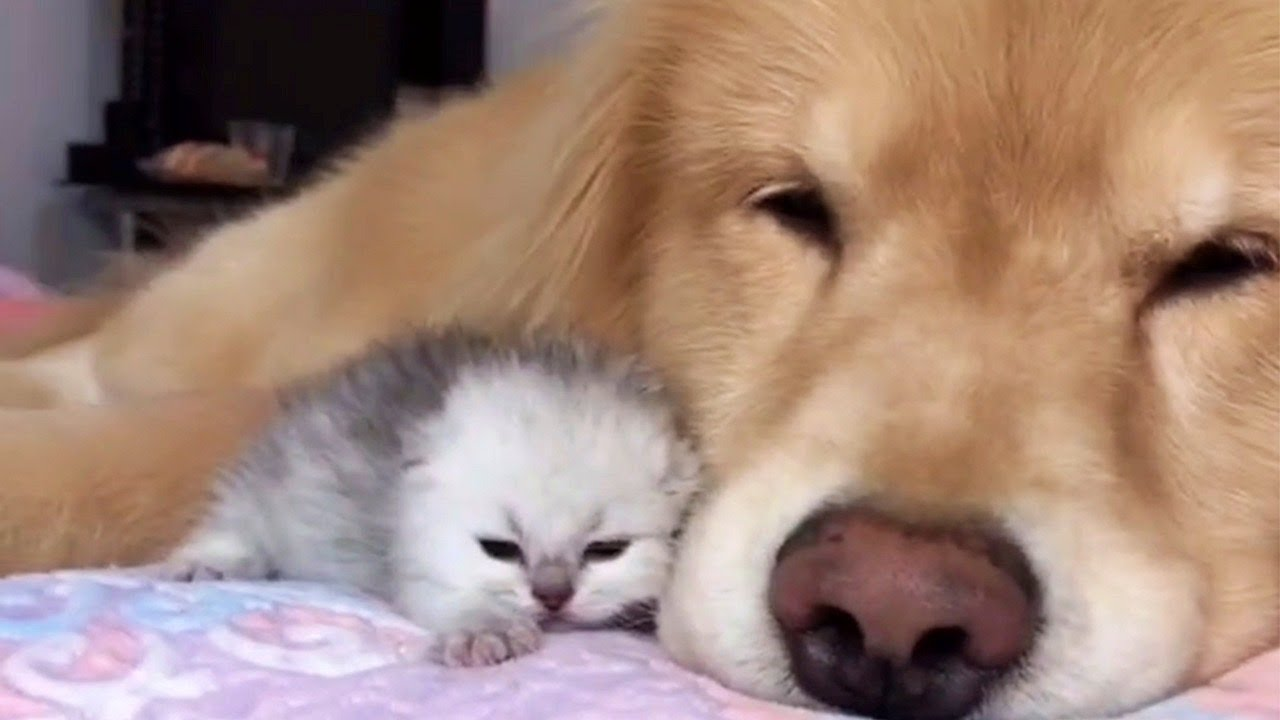 Gentle Golden Retriever Adores Cats
