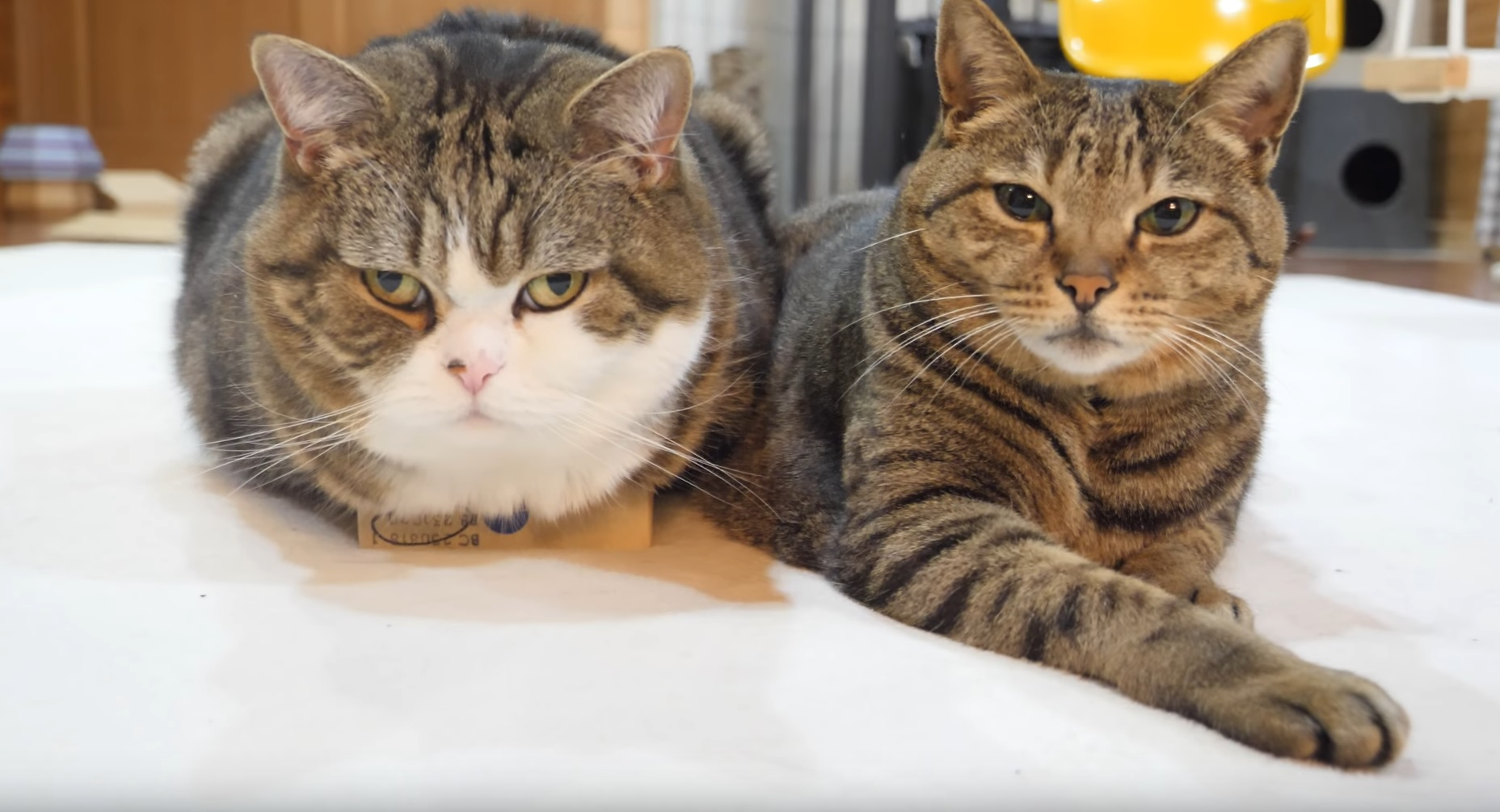 Maru And Hana Try A Small Box
