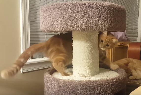 Cat Gets Dizzy Chasing Own Tail