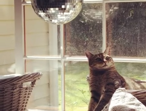 Cat Mesmerised By Disco Ball