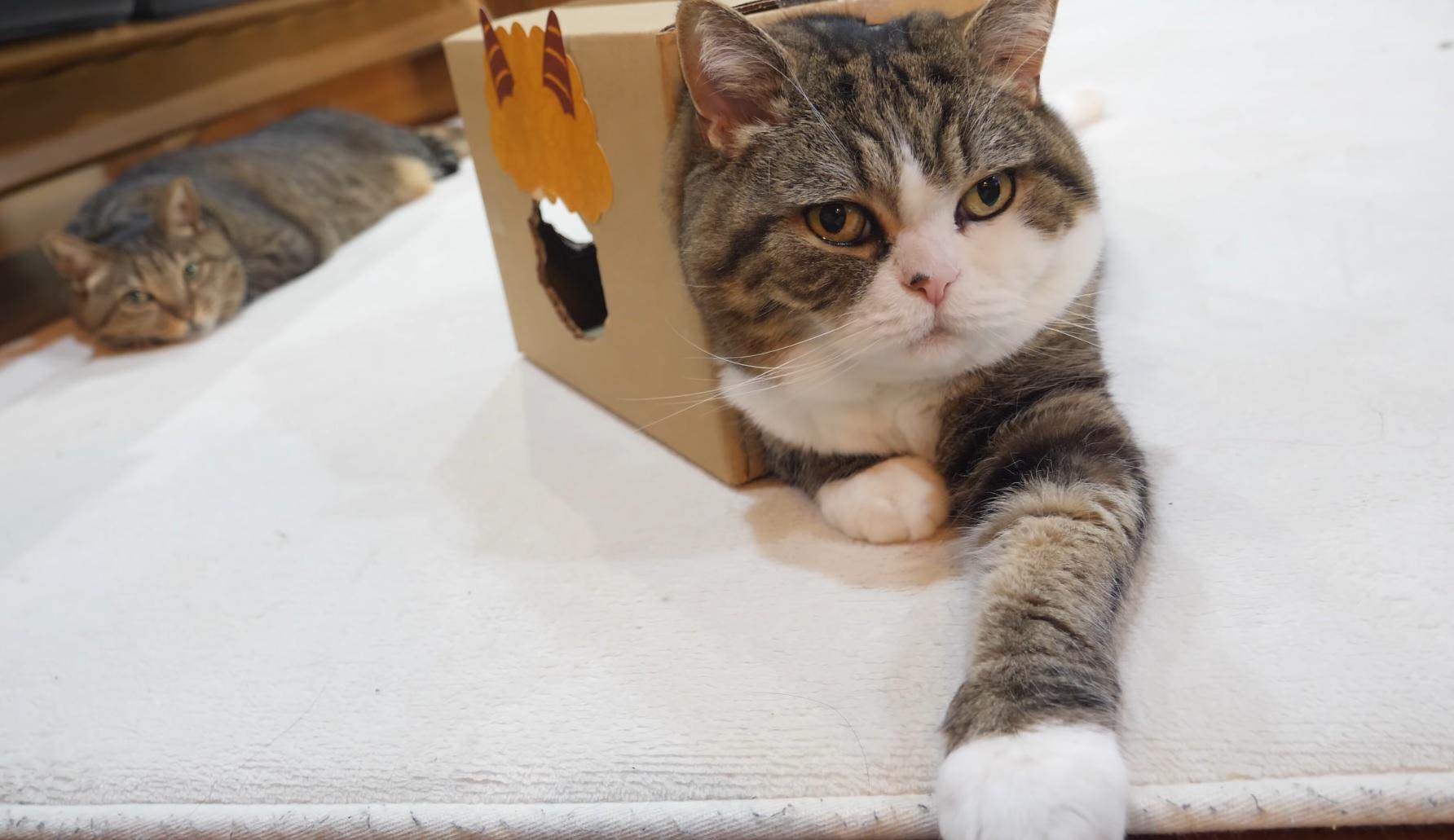 Maru Sits In Strange Box