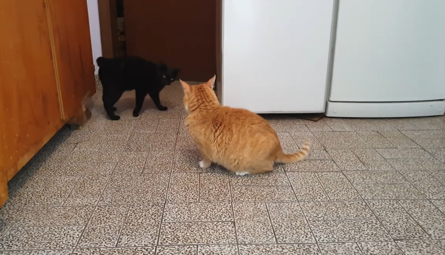 Cute Cats Playing
