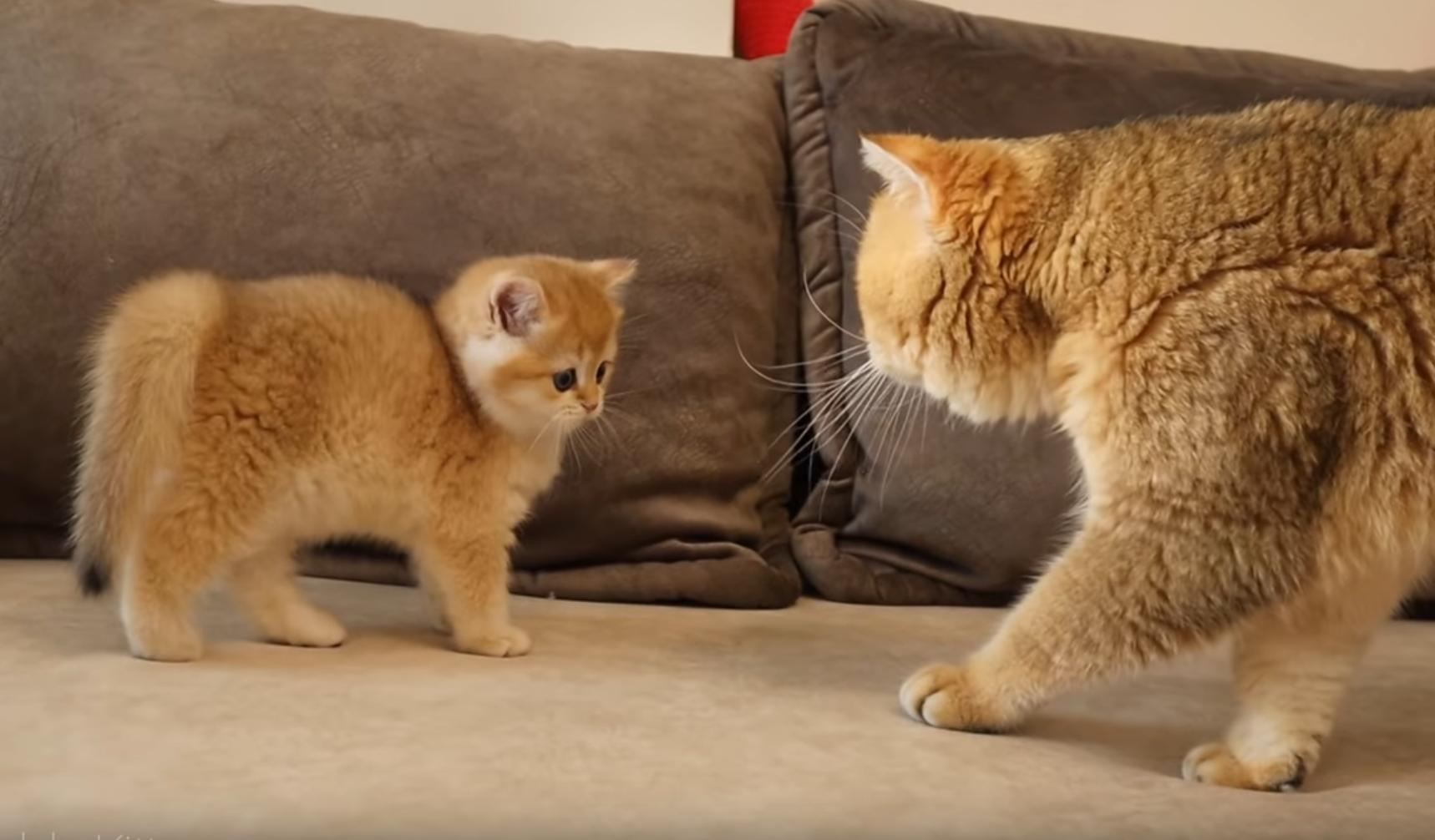 Kitten Meets Dad