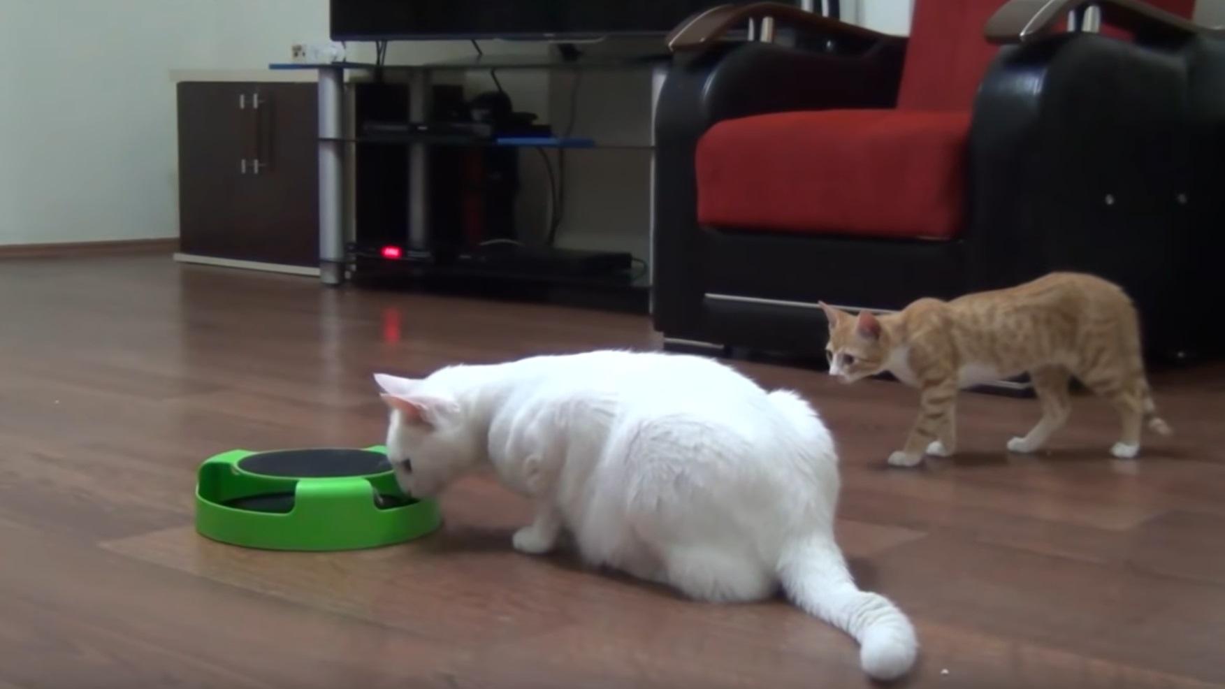 Kitten Surprise Attacks