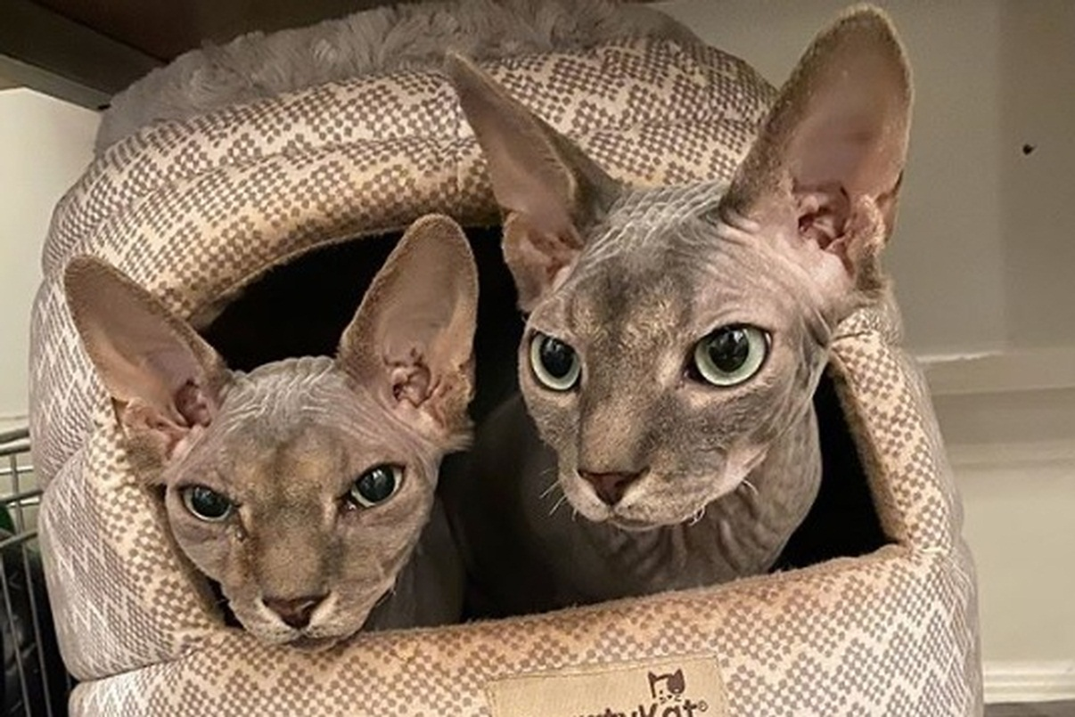 These hairless cat brothers always plot something