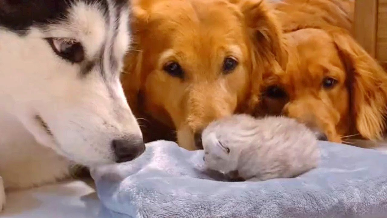 Dogs Greet New Kitten