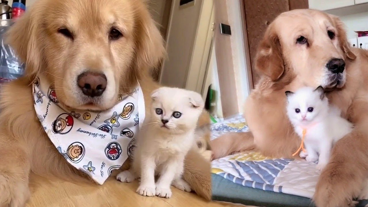 Golden Retreiver Loves Kittens
