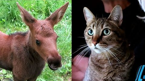 Baby Moose Blows Kitty's Mind