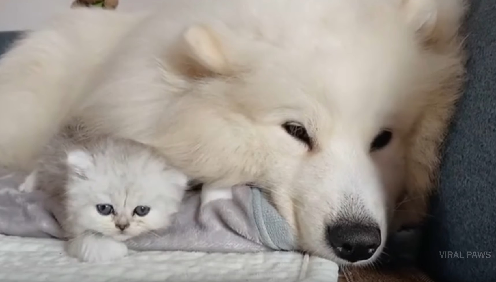 Fluffy Dog Adores Cat