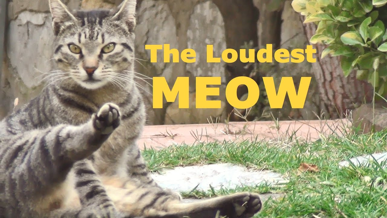 The loudest meow
