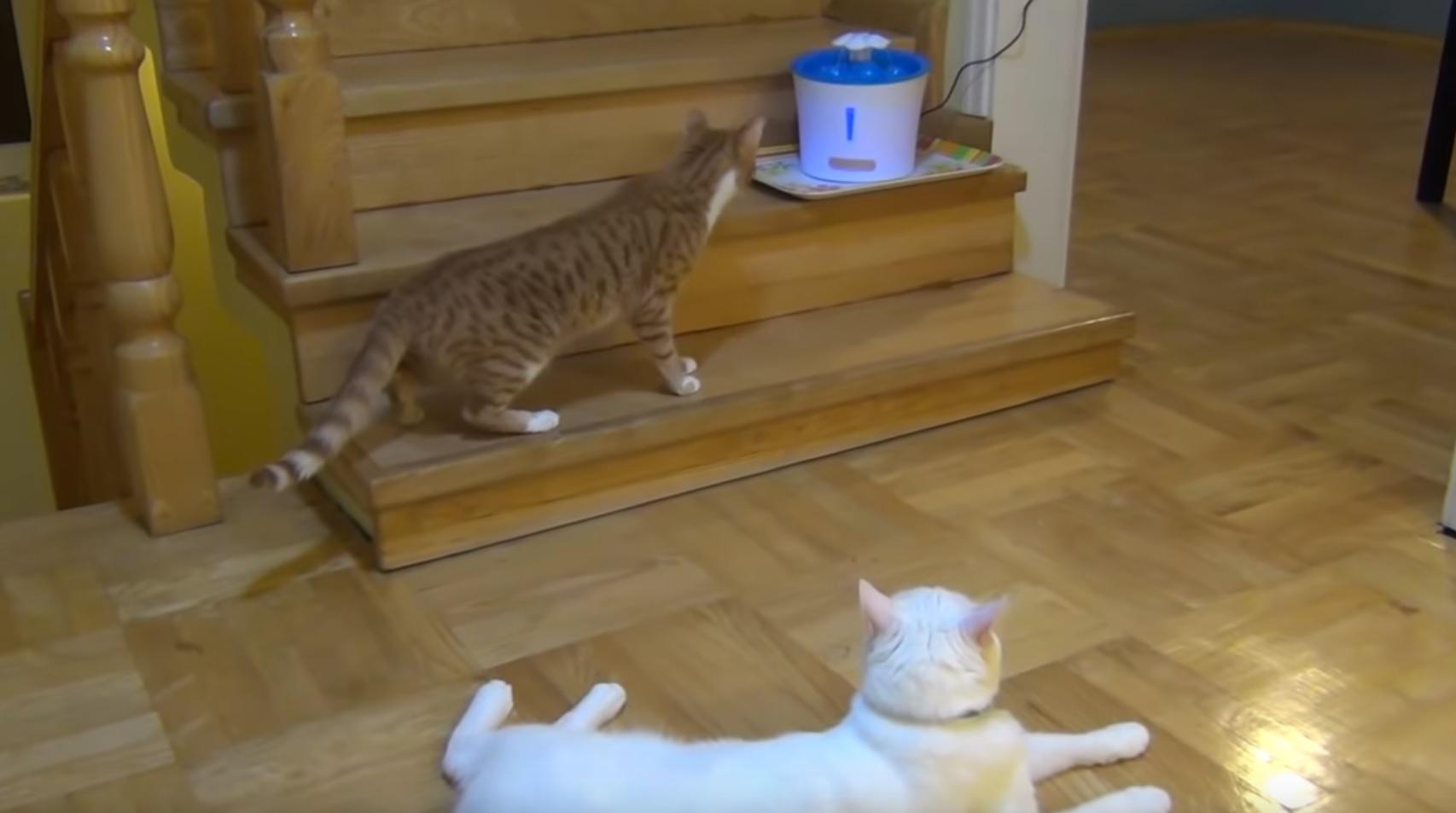 Curious Vs Lazy Cat