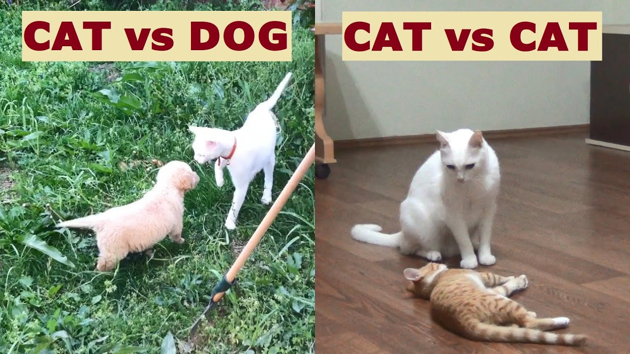 A cat dealing with a dog and another cat