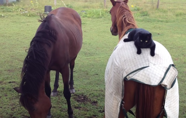 Laid Back Cat Rides Horse