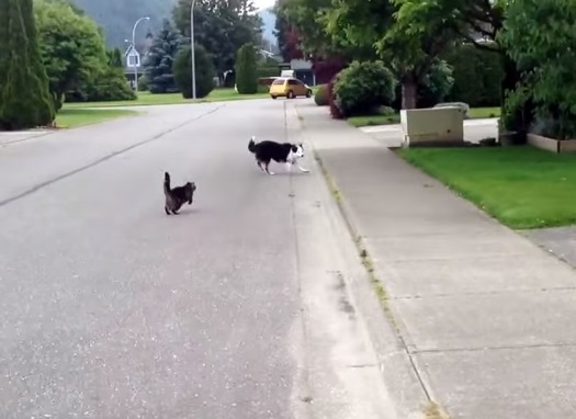 Epic Cat Chases Dog !