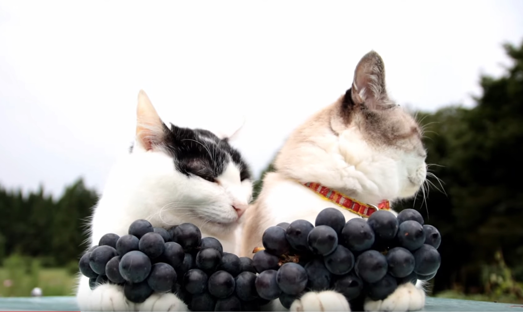 Kitties Have Grapes For Sale