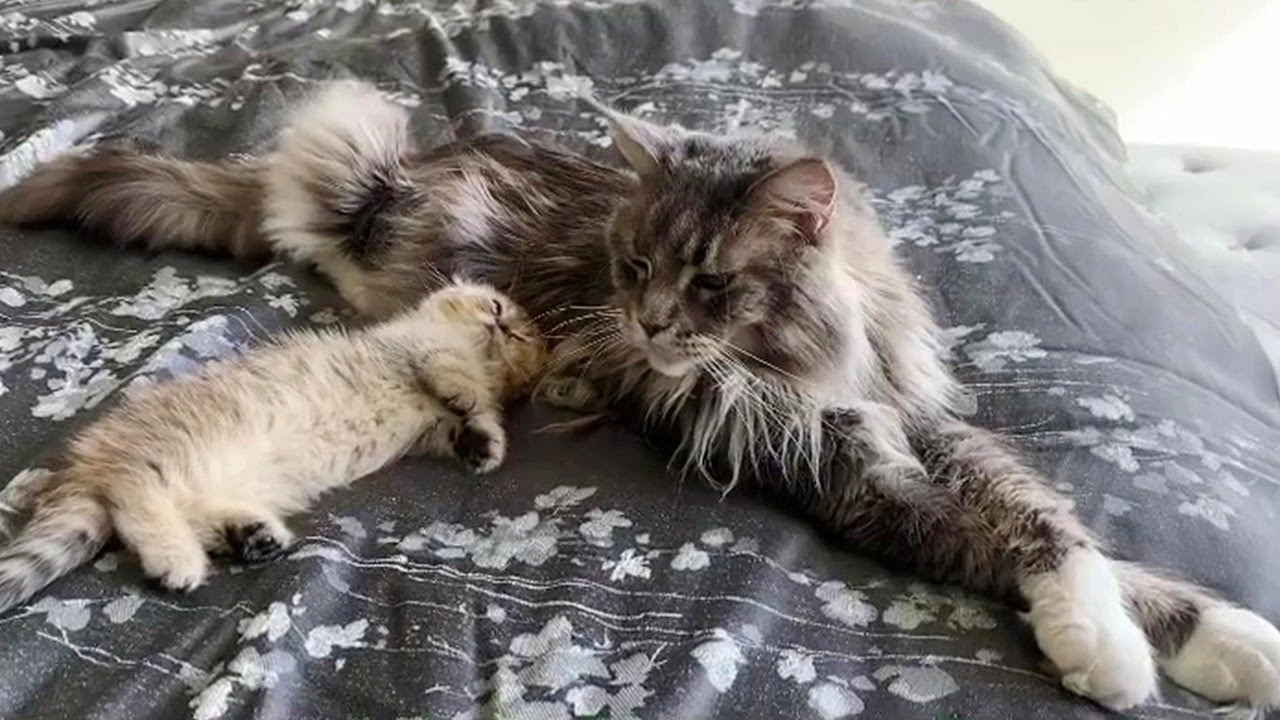 Munchkin Kitten Plays With Maine Coon