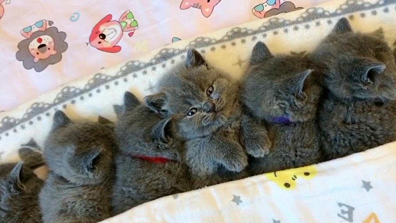 A Pile Of Grey Kittens