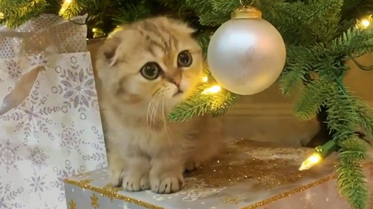 Cute Munchkin Cat Gets Presents Early