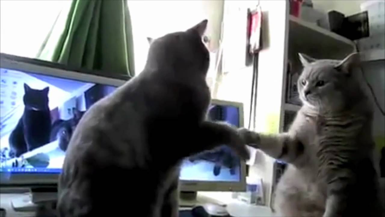 Cats trying to play Patty-cake