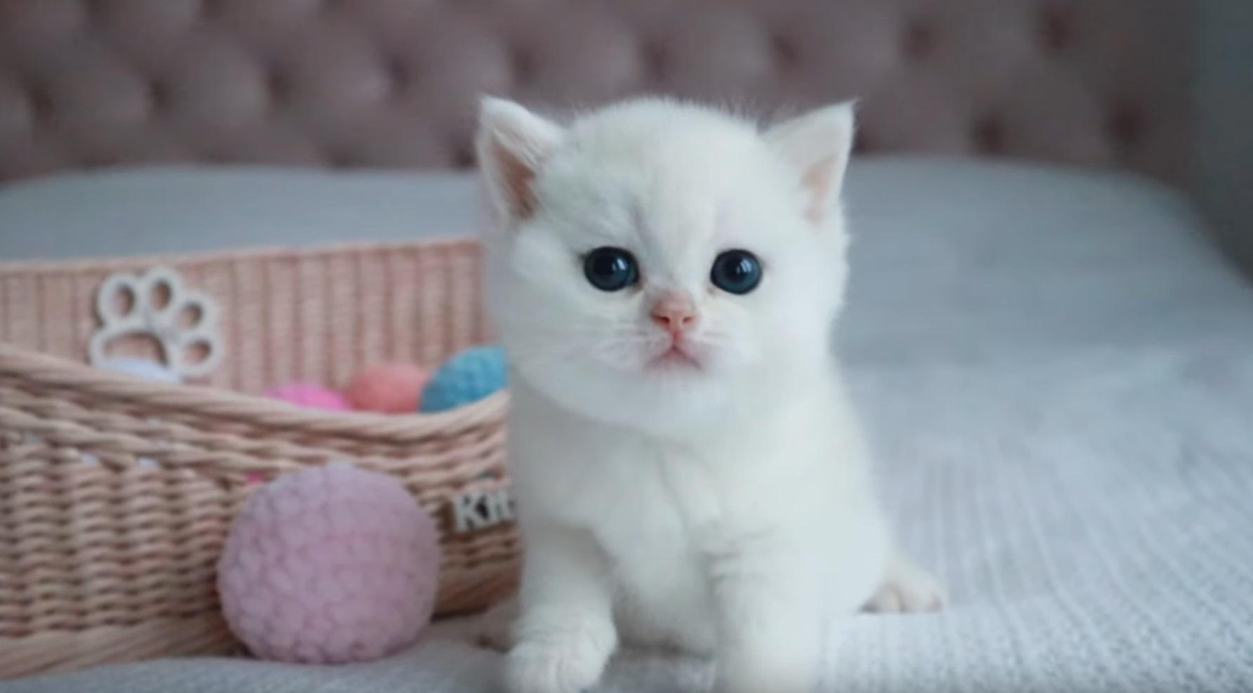 Meet Kokos The British Shorthair Kitten