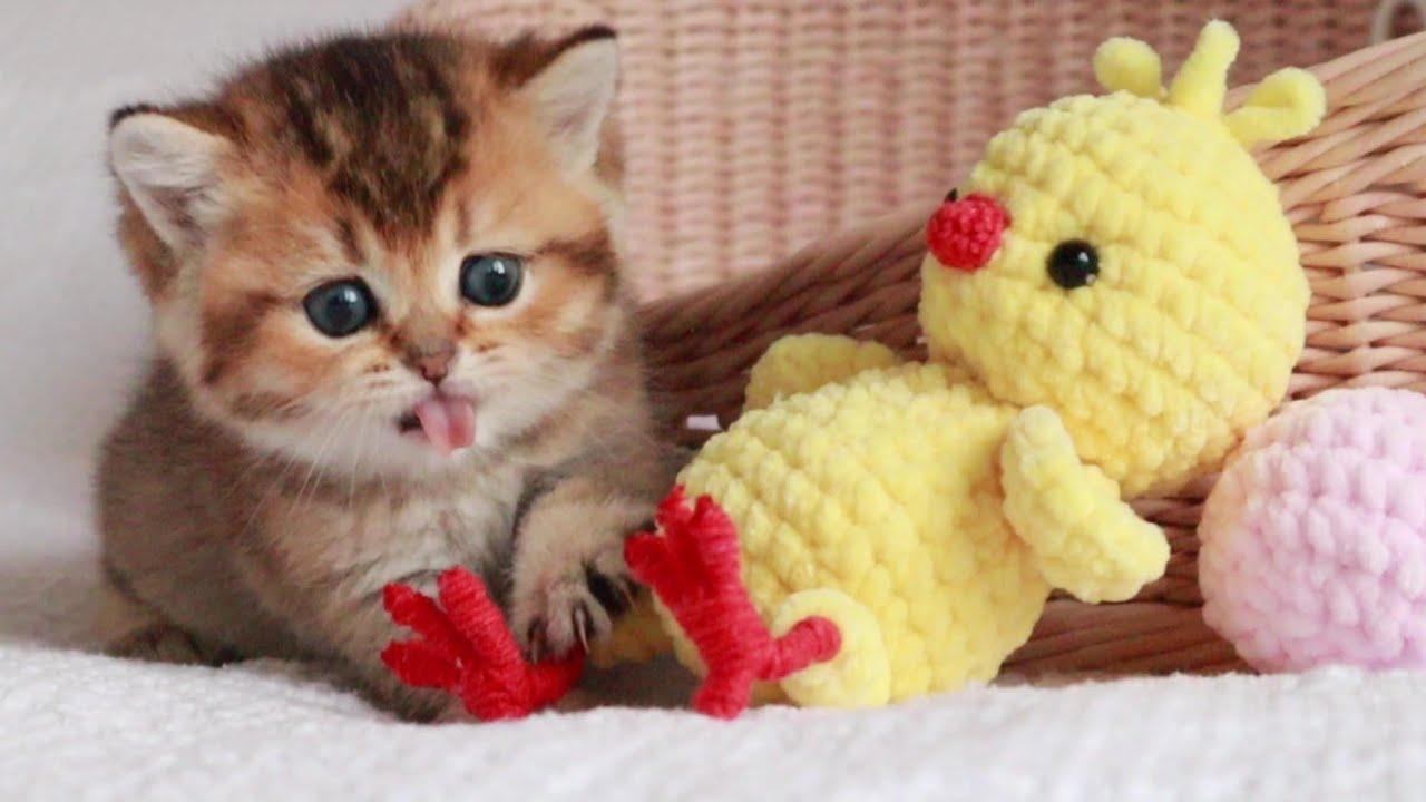 Kitten Attacks Chicken