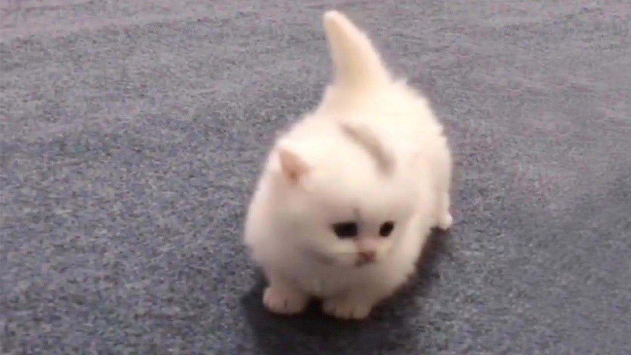Walking Cotton Ball Kitten