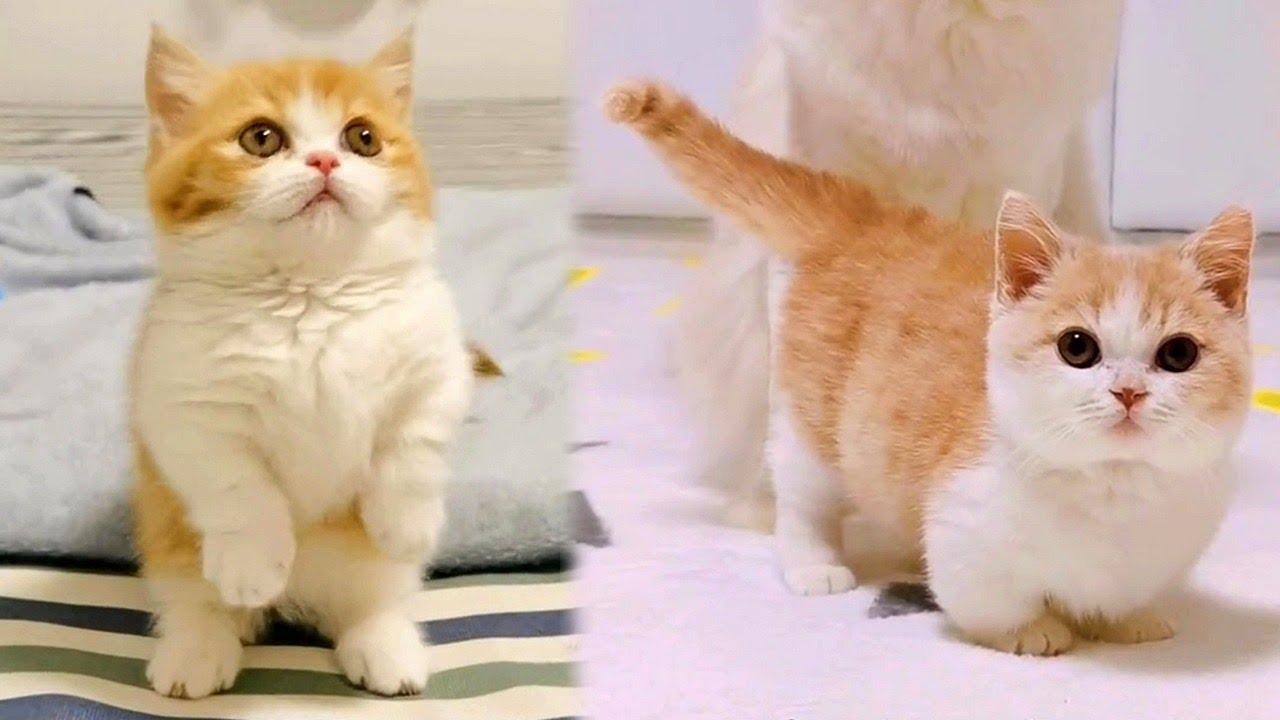 Munchkin Kitten Cuteness Overload