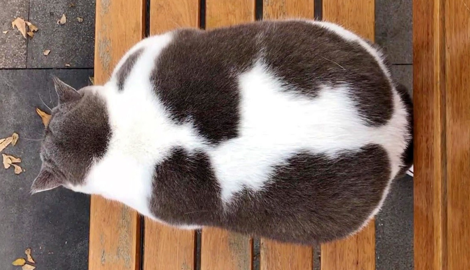 Adorable Chonky Kitty