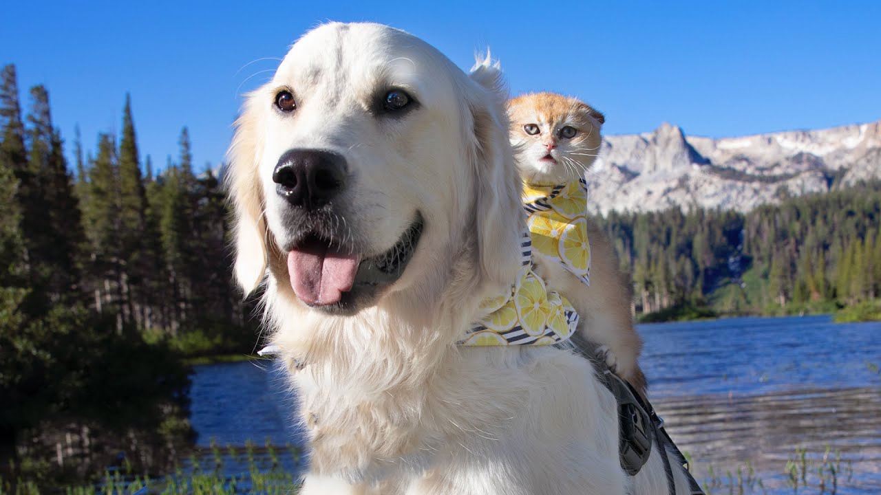 This kitten changed the life and attitude of this gentle dog