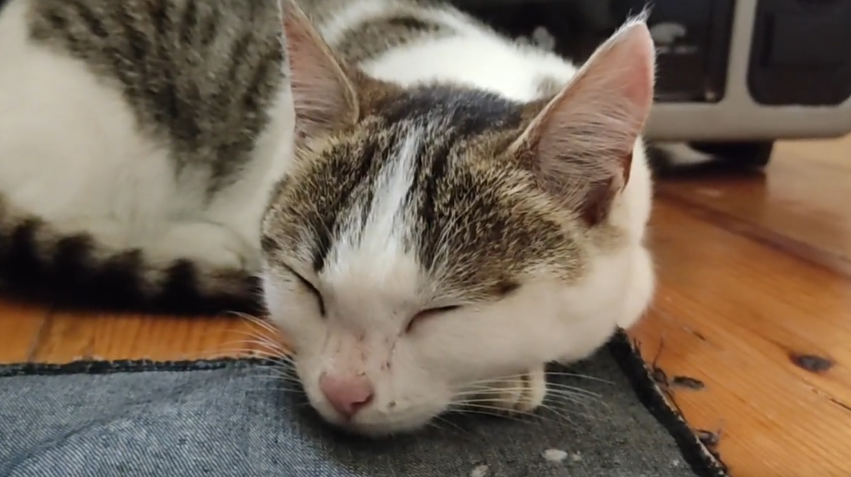 Adorable Cat Falls Asleep And Purrs