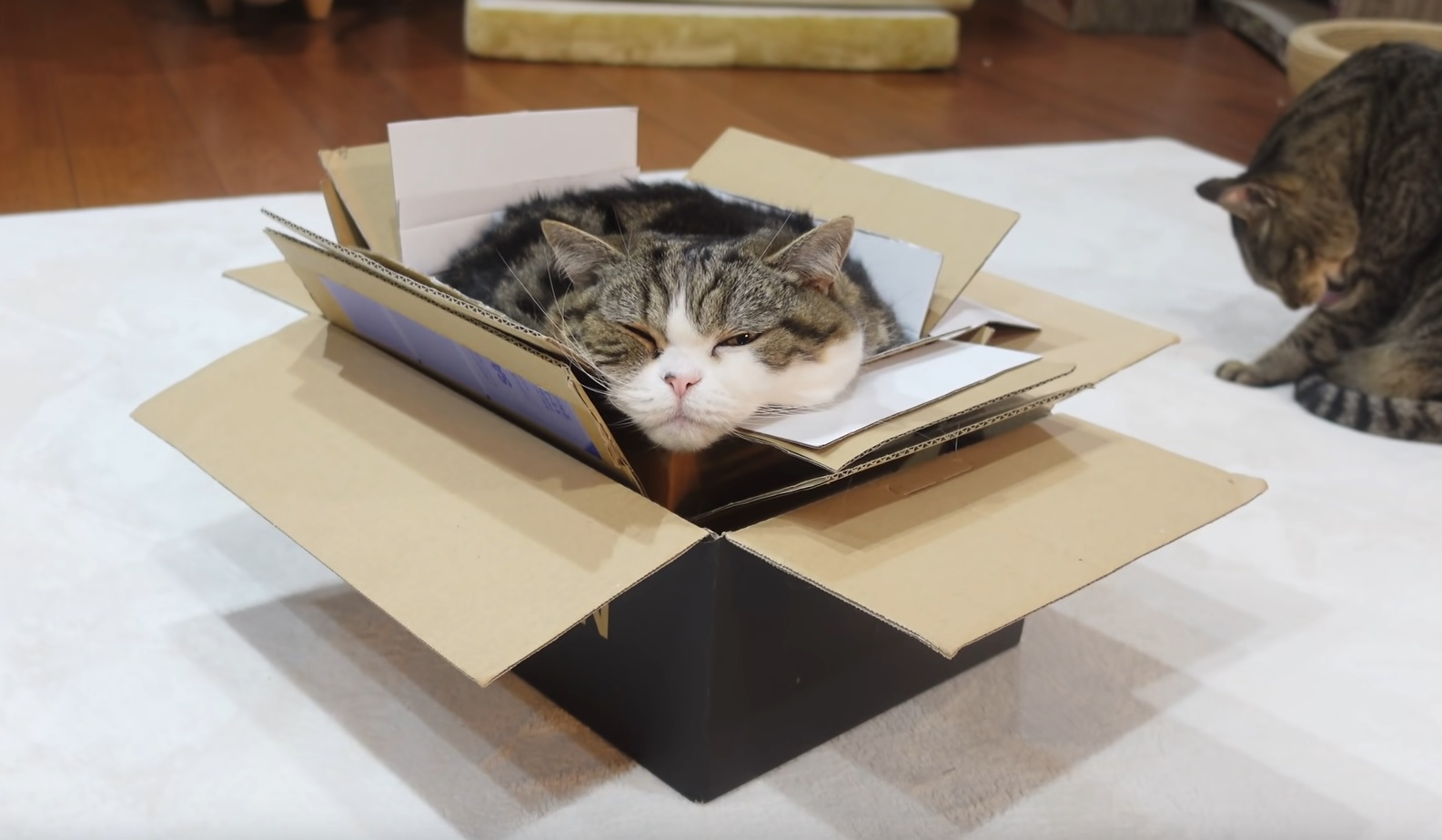 Maru Takes A Stack Of  Boxes