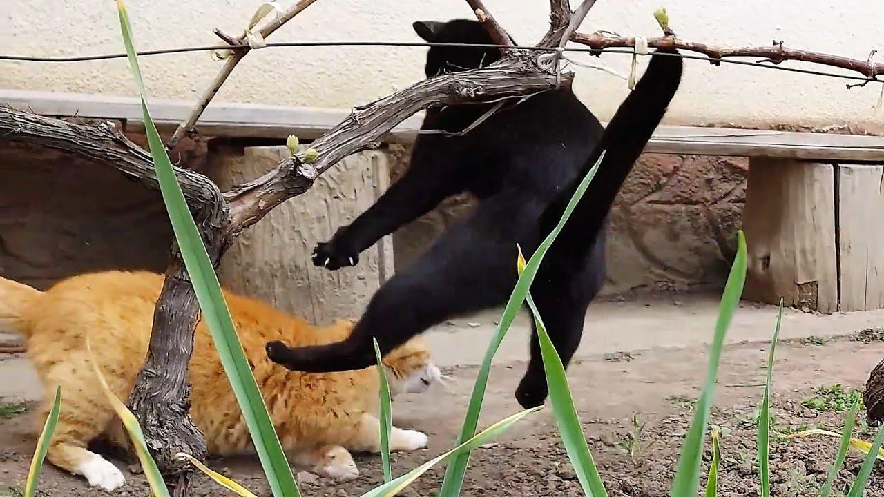 Younger Cat Stalks Older Cat